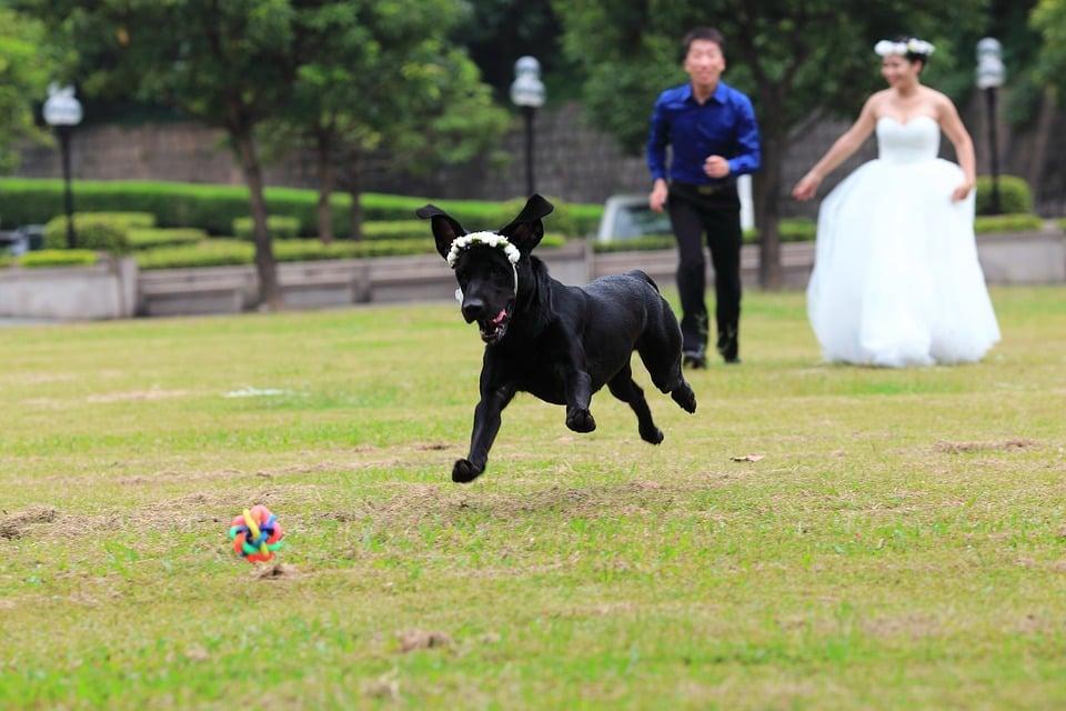 boda perro